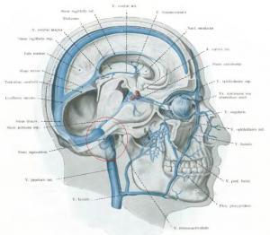 Прикрепленное изображение: jugularis.JPG