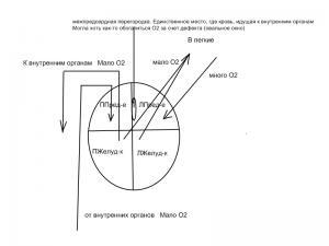 Схема_кровоснабжения.jpg