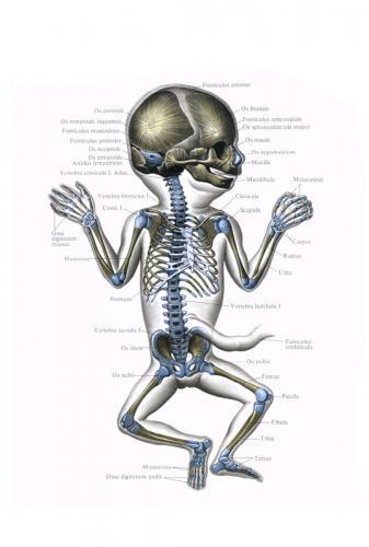 Прикрепленное изображение: skelet.jpg