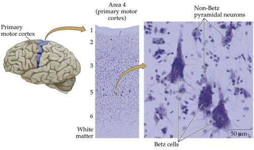 motor_cortex2.jpg