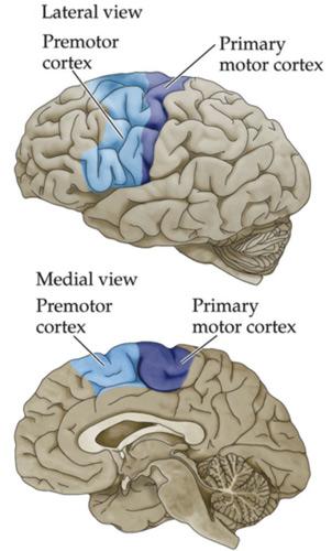 Прикрепленное изображение: motor_cortex.jpg